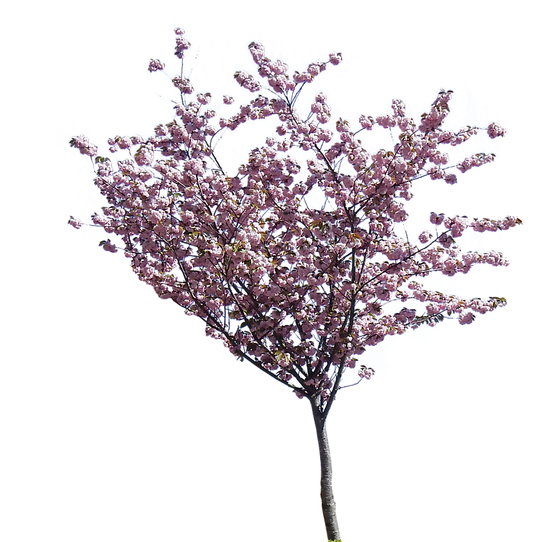 cherry blossom small