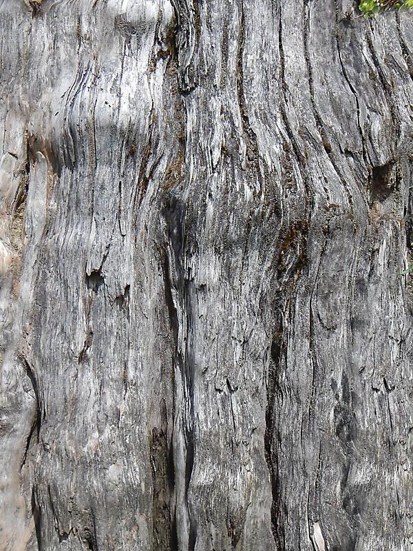 Texture - bark oak tre...