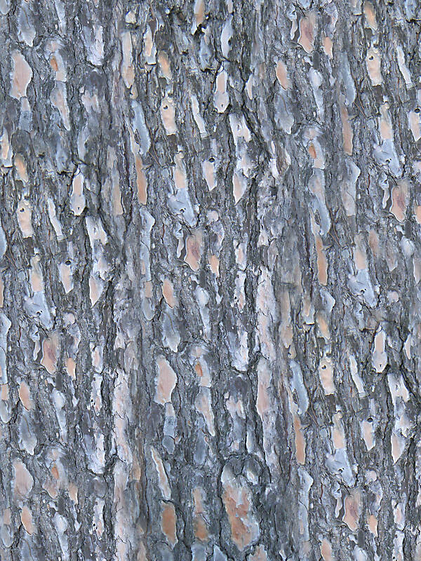 Texture Pine Bark Wood Bark Lugher Texture Library