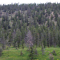 pines tree mountains background 1