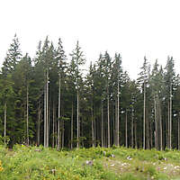forest trees 1