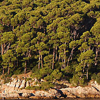 pine trees background 2