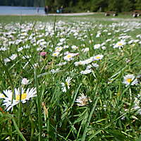 grass with daisie flowers 3