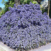 California lilac purple bush