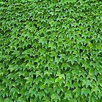 edera ivy leaf