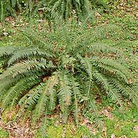 Fern felce bush