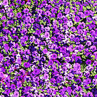 purple flowers yard