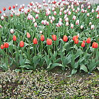 red tulips planter 2