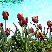 tulips alpha
