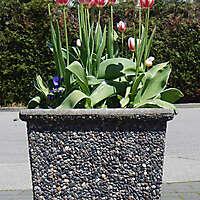 tulips square vase