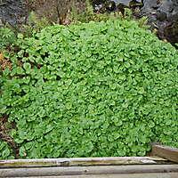 wild ginger plant