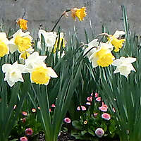 yellow and white narcissus daffodil flowers