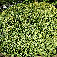 shrub medium size
