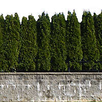 wall and pine trees bush