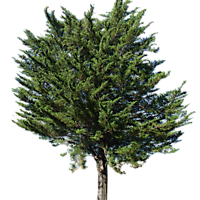 pine tree transparent alpha