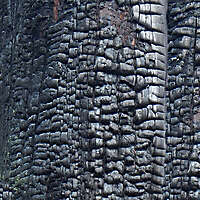 burnt wood tree