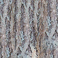 grey bark tree