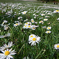 grass with daisie flowers 4