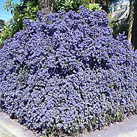 California lilac purple bush