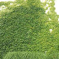 climbing plant big