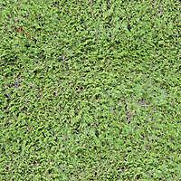 green pine bush