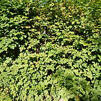 leaves bush medium