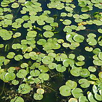 lotus leaves on water 1