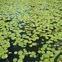 lotus leaves on water 2
