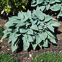 plant Blue Angel Hosta