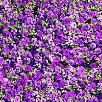 purple flowers yard