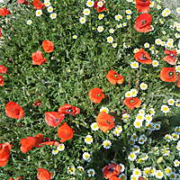 red poppy and white flowers