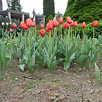 red tulips planter 1