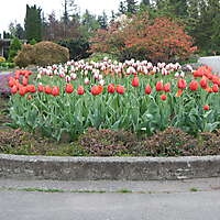 red tulips planter 3