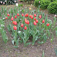 red tulips planter 4