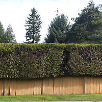 old fence and shrub 1