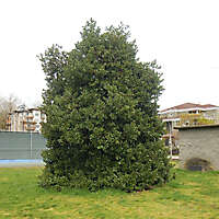 shrub plant huge 1