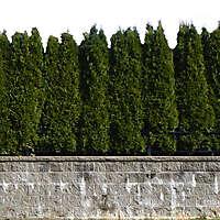 wall and pine trees bush