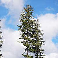 double pine tree