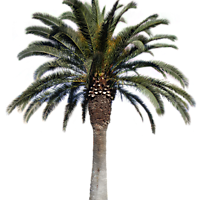 palm big png with alpha