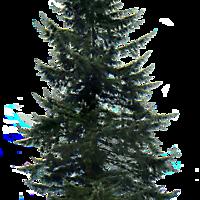 pine tree big