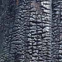 burnt wood tree