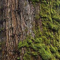 mossy bark 1