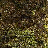 mossy bark 3