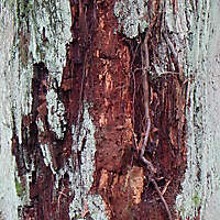 white and red bark