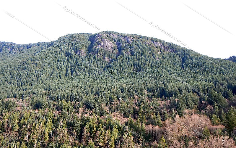 pine trees mountains