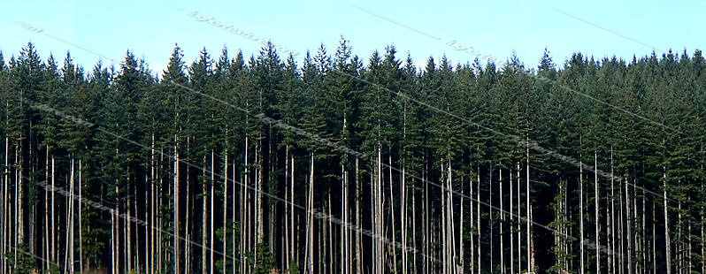 tall pine trees background
