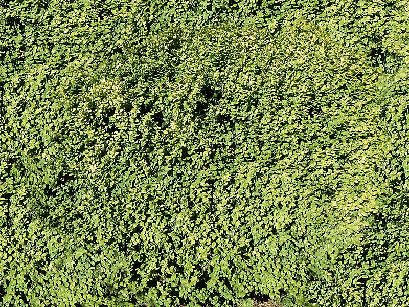 Texture - leaves bush small - Shrub - luGher Texture Library