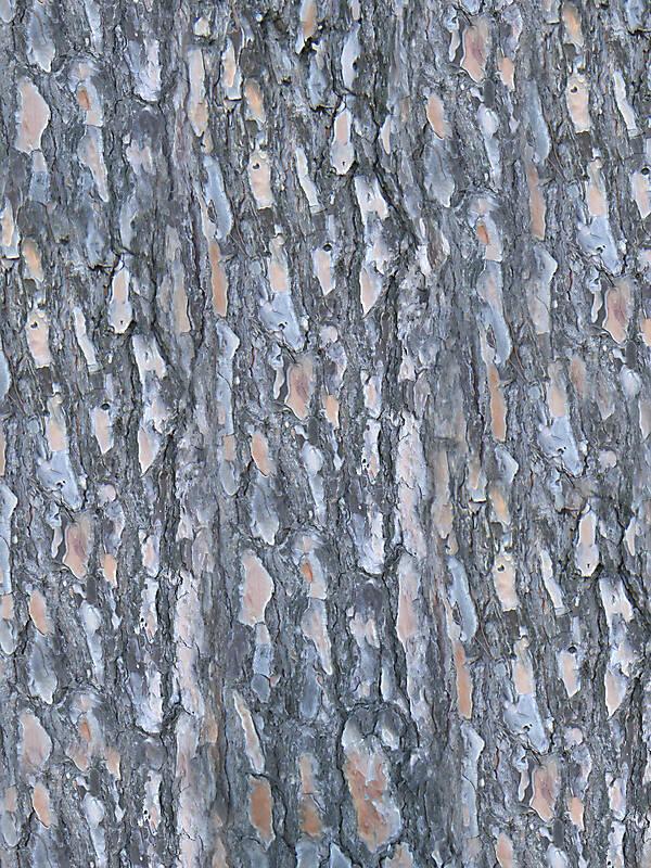 Texture Pine Bark Wood Bark Lugher Texture Library