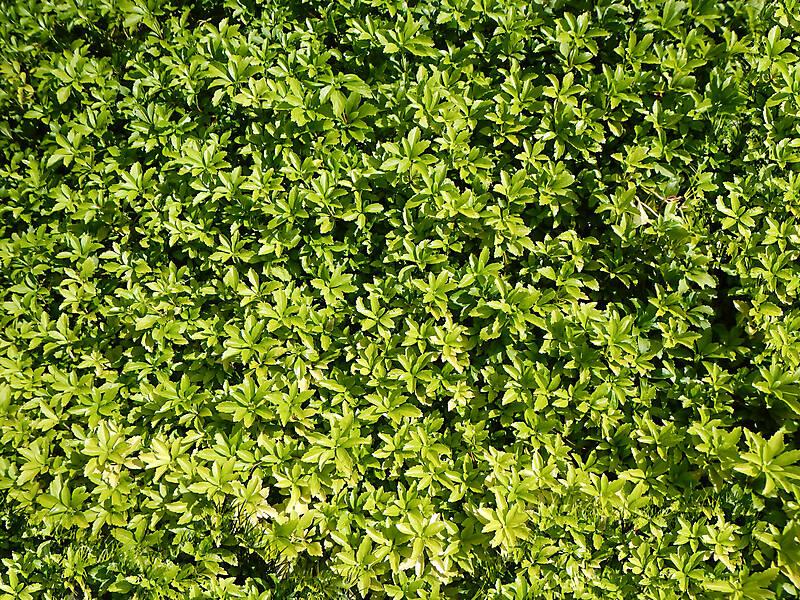 Texture - green leaf bush - Shrub - luGher Texture Library